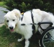 white dog in wheel chair
