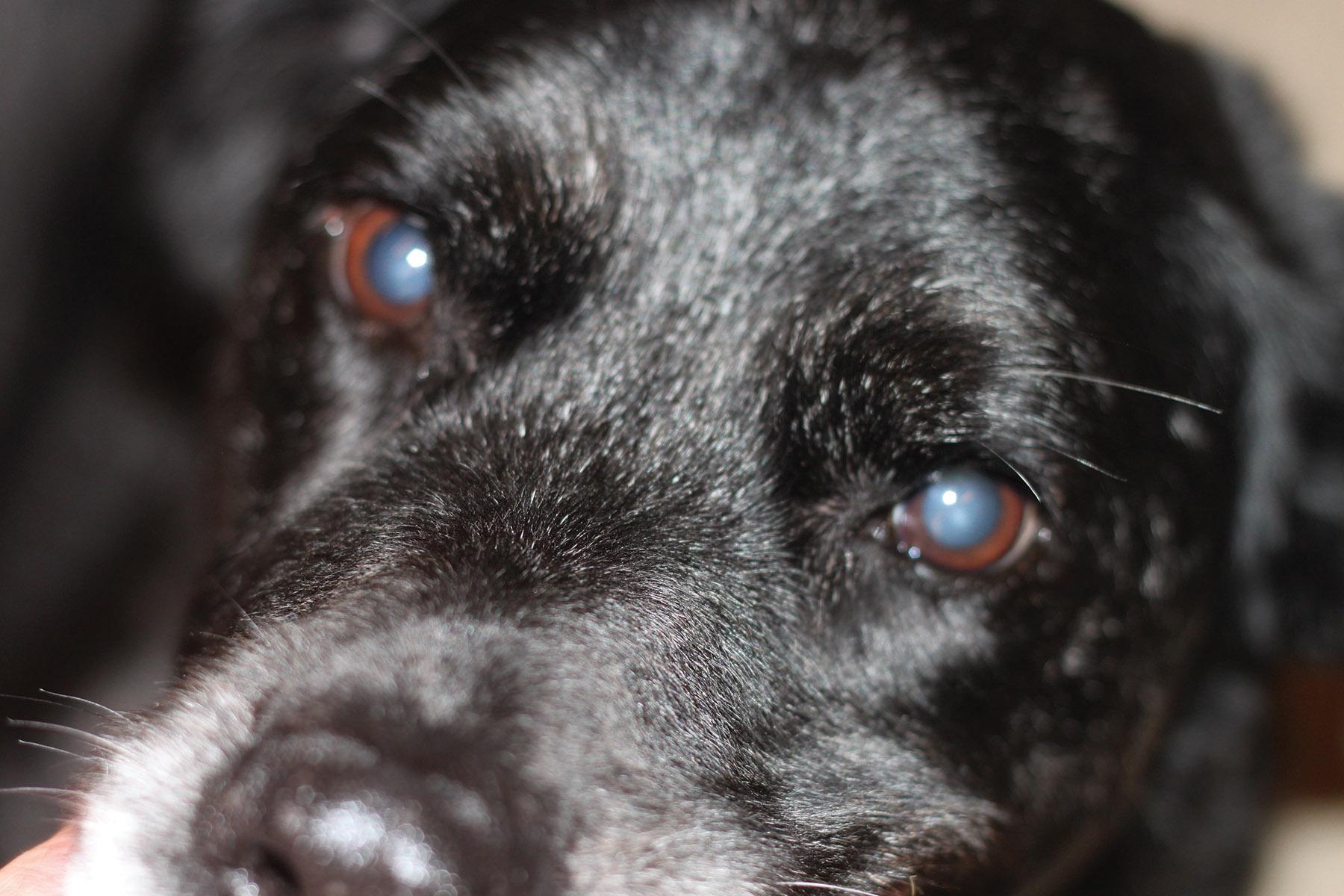 Milky Eyes In Dogs