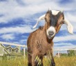 Very cute young kinder goat in pasture on farm.