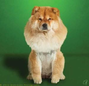 Looks like a dog, acts like a cat. Meet the Chow.