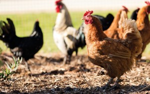 Backyard chickens are at risk of bird flu too.