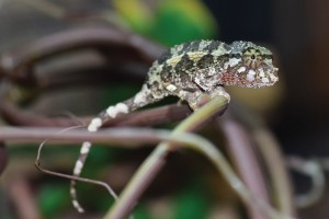 Chameleons... cool in a prehistoric kind of way.