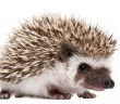 Hedgehogs have bad eyesight, and recognize their owners by smell.