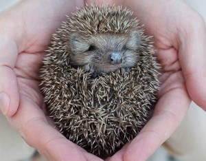 Hedgehogs are nocturnal, so if before adopting one, consider where you'll set up his home.