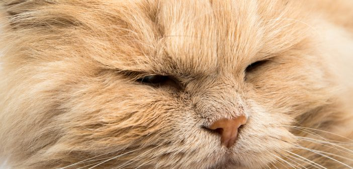 Health Concerns for Brachycephalic Cats