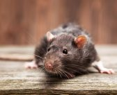 Rats, The Unlikely Companion