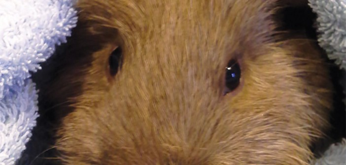 Eugene's Tiny Tumor: Removing a Growth Common to Guinea Pigs