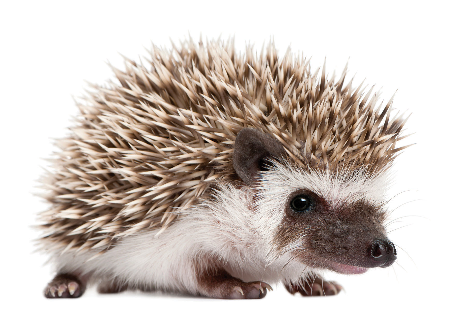The African Pygmy Hedgehog